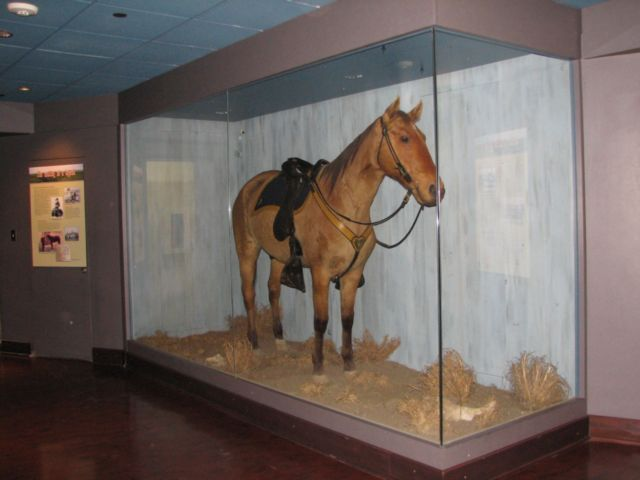 keogh's horse comanche at kansas university natural history museum